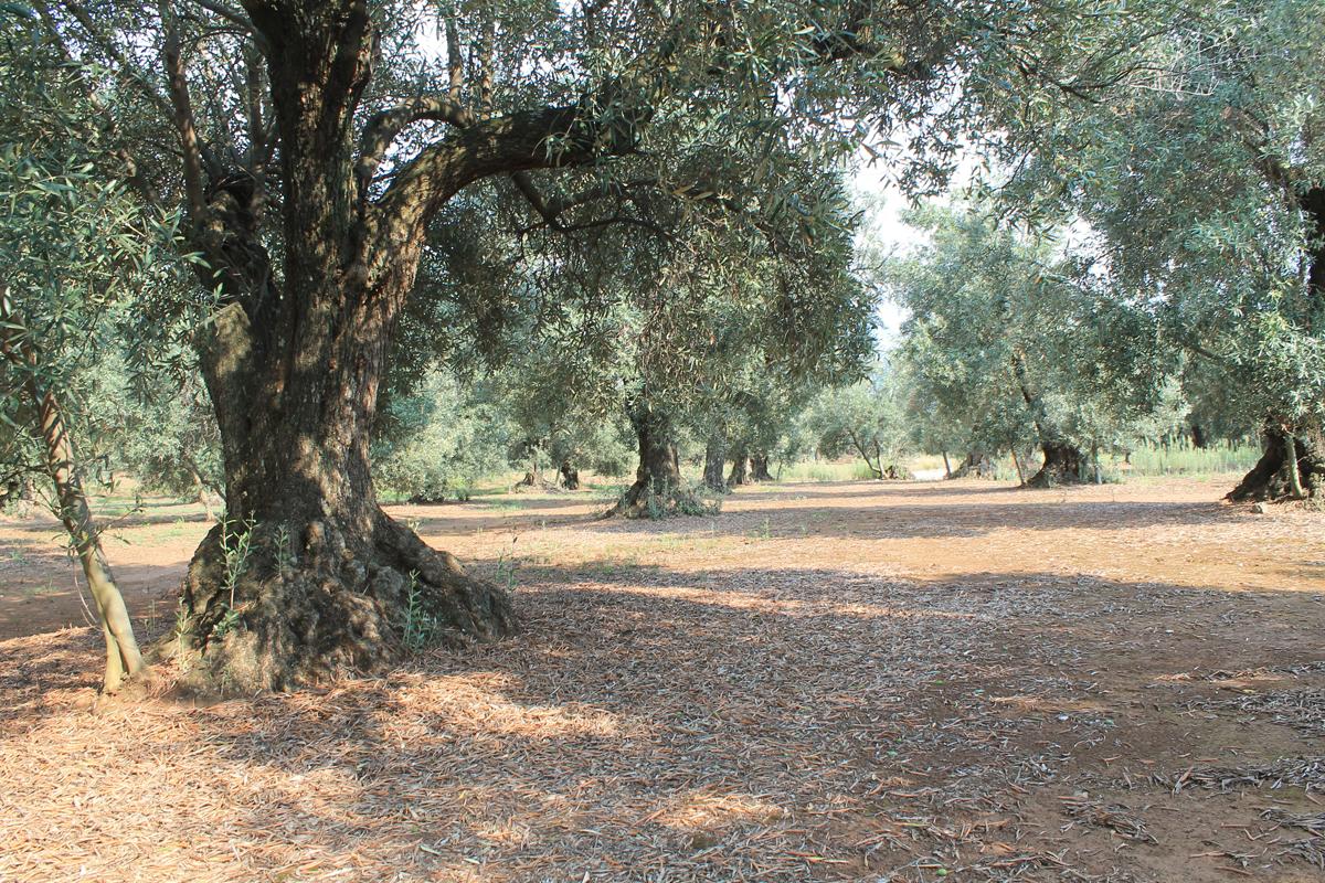 Olio extravergine di oliva Truscia, Calabria